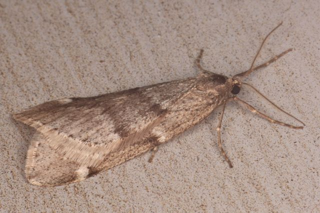 moths  what's bugging you?, little moths all over my house, tiny moths all over house